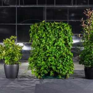 Aucube, Efeurankgitter und Ficus
